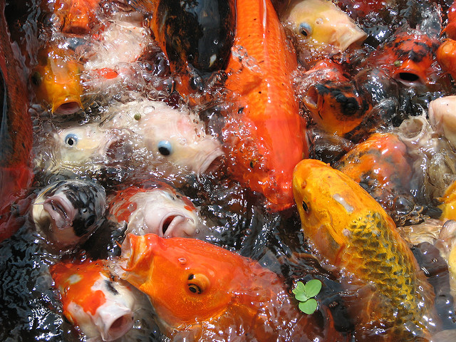 39 crackers coins and chaos a filipino new year 39 s eve for Koi feeding