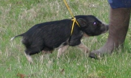Adult mini potbelly pig - photo#28
