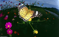 Butterflies HD Wallpapers 15 Images, Picture, Photos, Wallpapers