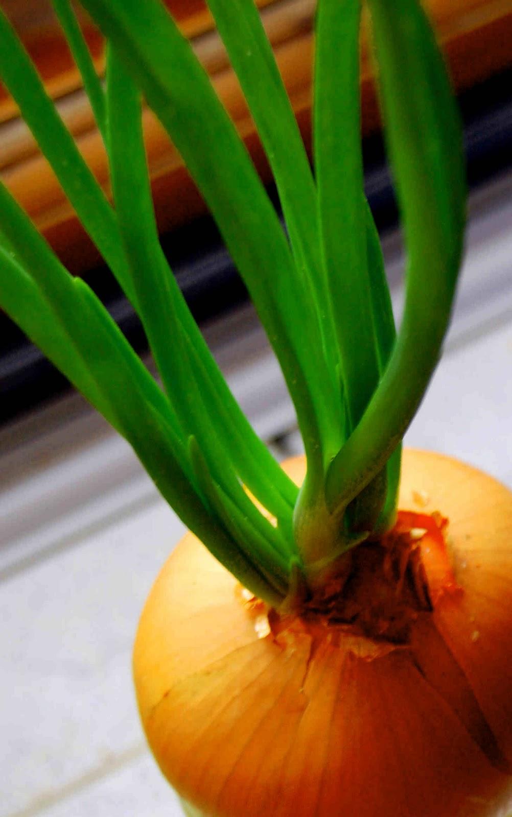 Выращивание лука слизуна в домашних условиях 18