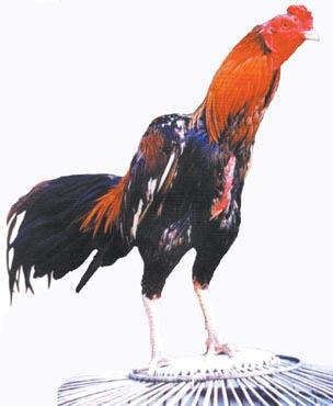 Gambar Ayam Aduan Sosor