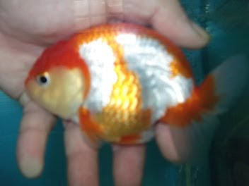 นี้ปลาตัวพ่อคับ ตัวที่4 ของบ้านคับ