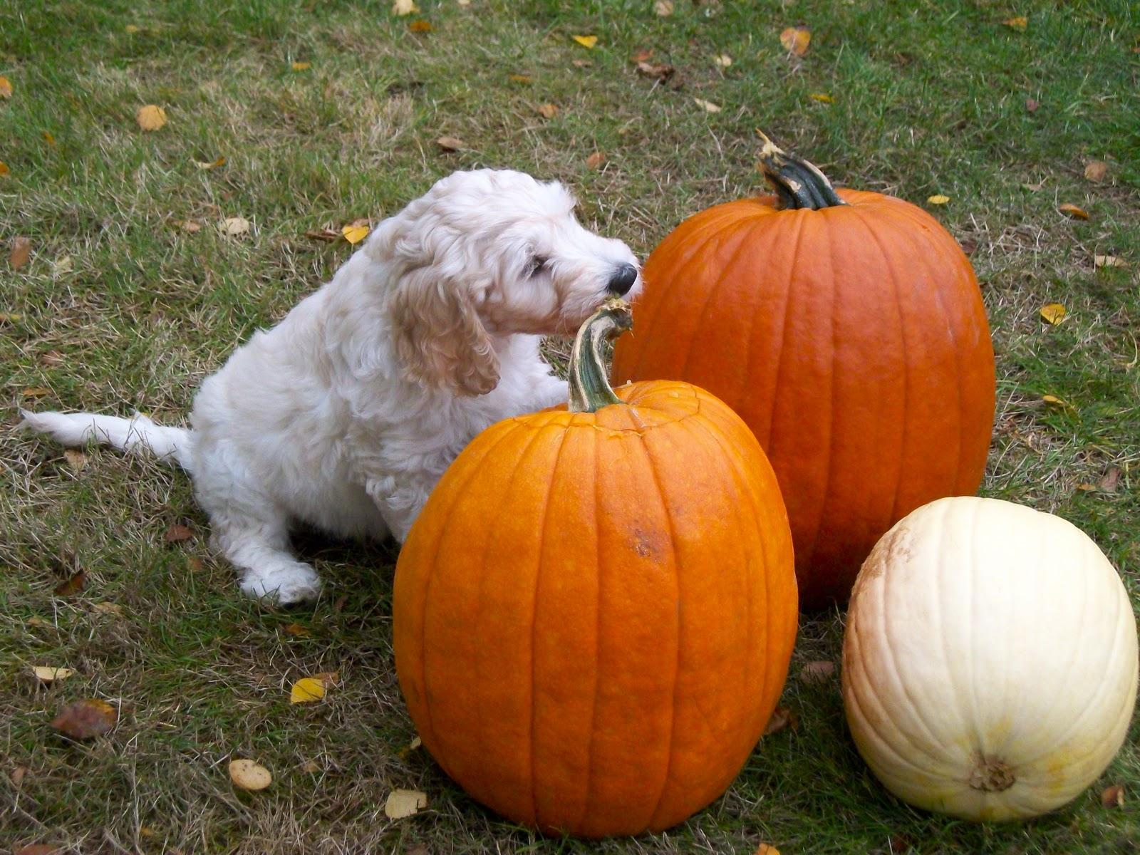Cool Wallpaper Halloween Puppy - JasminePumpkins  Pic_82177.JPG