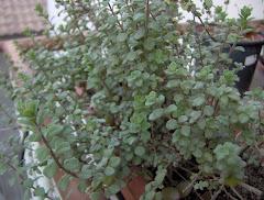 Sul mio balcone: la maggiorana, in greco amarakos, pianta odorosa; in latino amaracum.