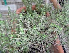Sul mio balcone: il timo, dal greco thymos (coraggio)