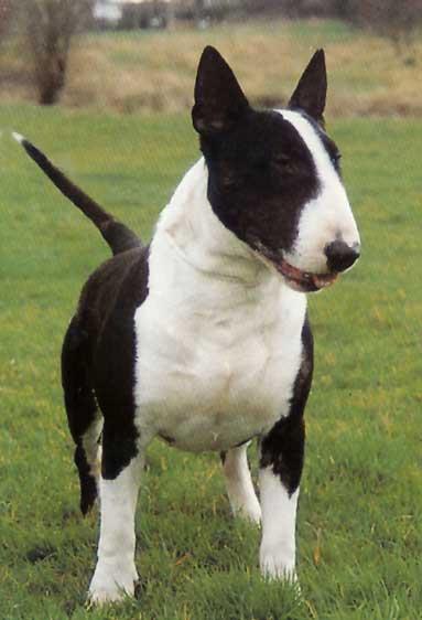 target dog breed. English Bull Terrier ( Target