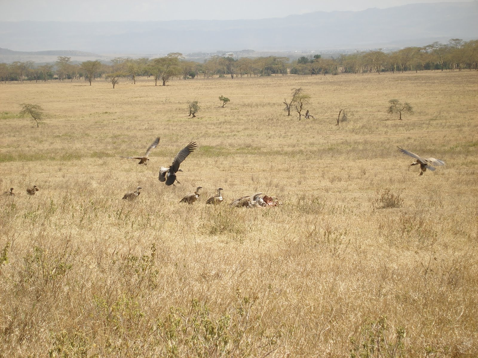 African Children Starving Vulture  ruppell s griffon vulturesAfrican Children Starving Vulture