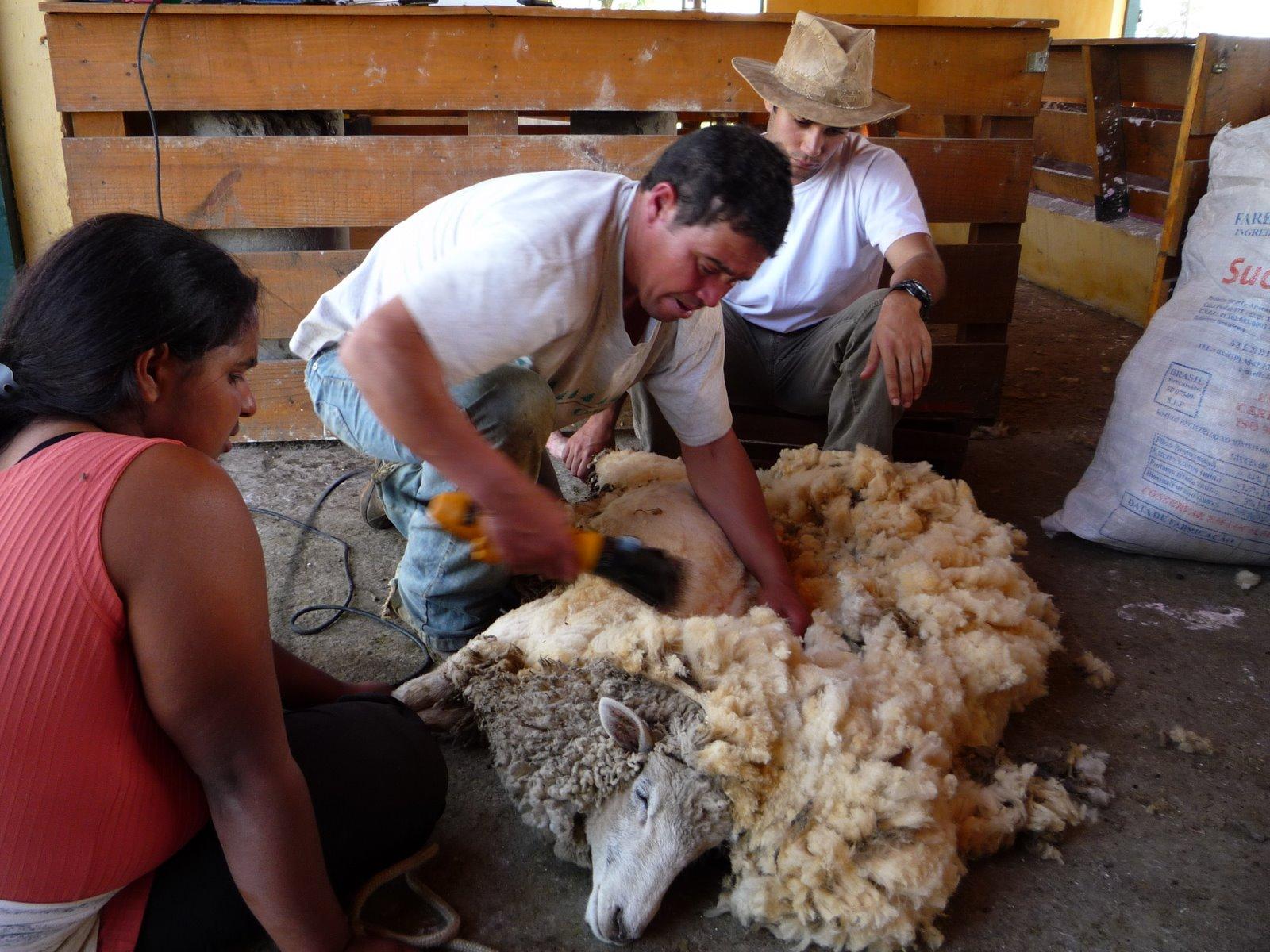 Tosquia da Lã