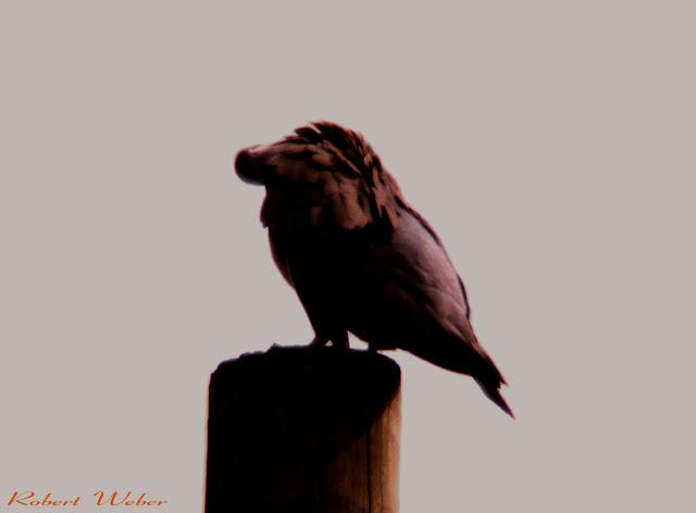 W.R bird