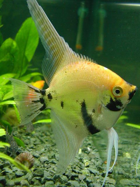 Cu ntanos sobre tus mascotas peces for Como cuidar peces de agua fria