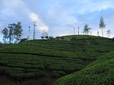 Tea Plantations, Kandy-Nuwara Eliya Rd