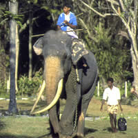 When a giant class elephant stand erect, its (hardon)organ as well as trunk & tail touch the ground