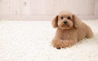 papel de parede cachorro no tapete
