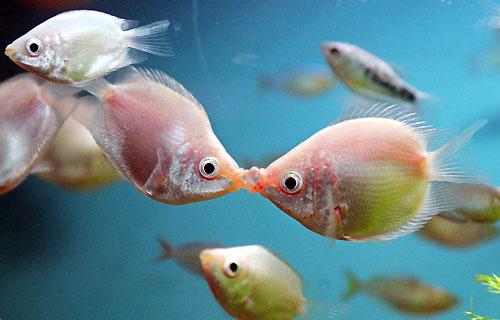 Todo sobre los peces for La reproduccion de los peces