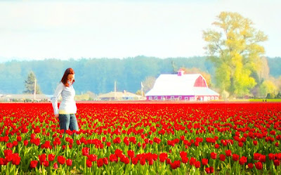 The Skagit Valley Tulip festival near mount vernon, washington.  Wa tulip fields near bellingham, WA in field april, may