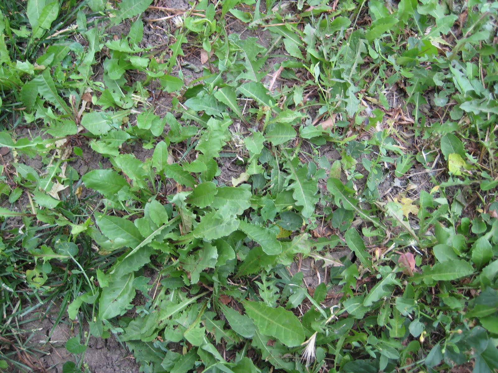 Weed Growing In My Backyard : Gulliville Edible weeds in my yard