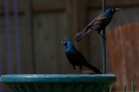 common grackle flight. you: the common grackle.