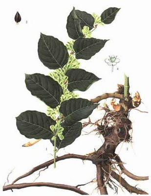 Resveratrol (Japanese knotweed)