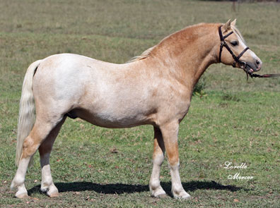 Buckskin roan blanket photo