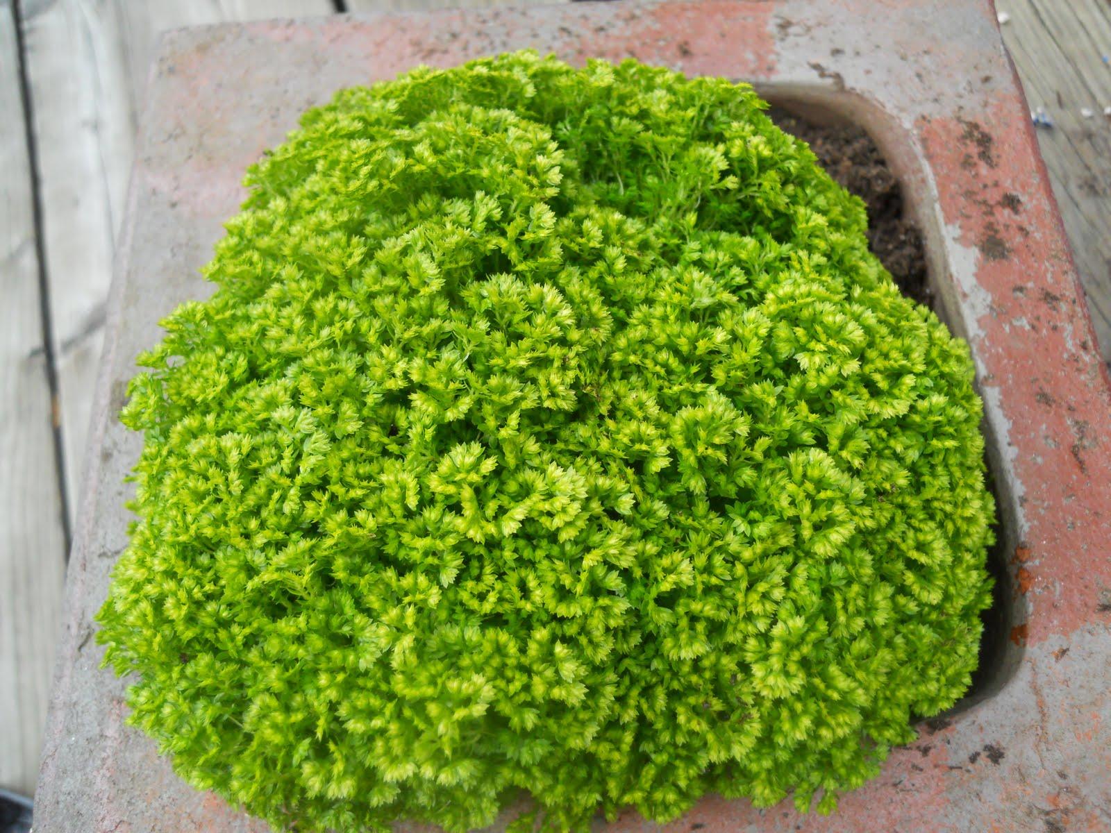 mini clover ground cover