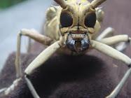 Serangga Berwajah Alien