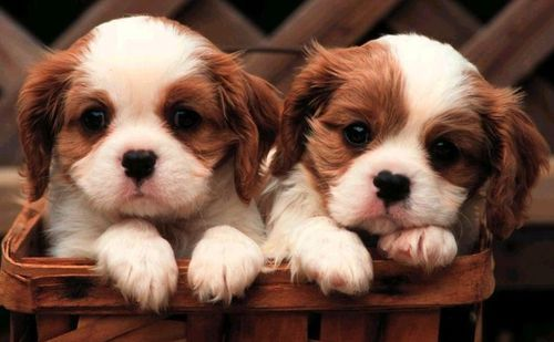 Very Cute Puppies Wallpapers posted under Animals Wallpapers