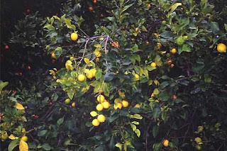 the lemon orchard by alex la guma essay The lemon orchard alex la guma writing the research paper essential information and tips the college essay – class of 2015 created by: jeff busch last updated: fall 2014 by: ryan damek concentration: 9 th grade beginning english links compiled by monica graham theater is a great tool for promoting literacy.