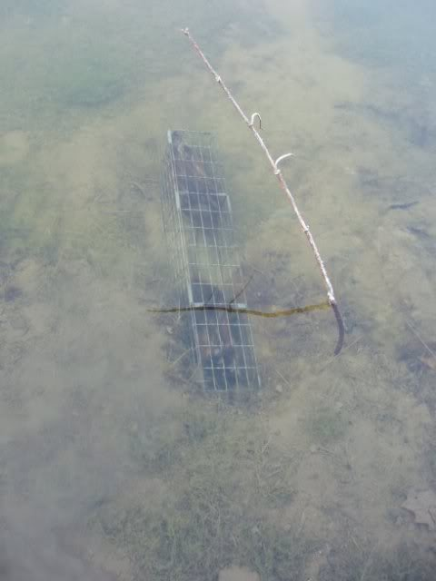 how to make muskrat colony traps