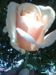 Preciosa rosa, regalo de Sabela.