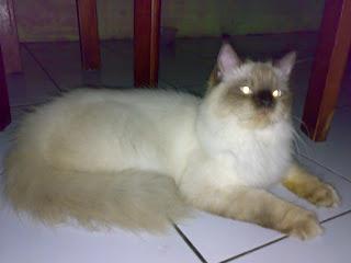 jual kucing persia: Juni 2009