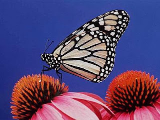 Un ejemplar de mariposa monarca, otra especie en peligro. Index Stock Photography