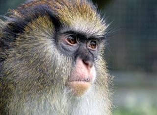 La mitad de los primates en riesgo de extinción