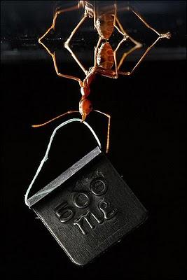 Sorprendente imagen de una hormiga levantando 100 veces su peso corporal