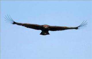 La SEO/BirdLife elige al buitre negro como el Ave del Año 2010