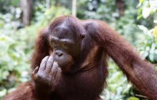 Los orangutanes se identifican emitiendo llamadas a grandes distancias