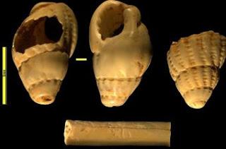 Ornamentos marinos recuperados en el primer nivel del Paleolítico Superior en Cova Gran (Lleida).- CEPAB-UAB