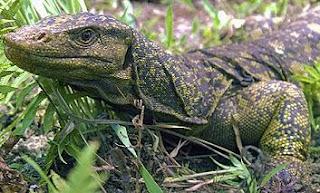 El lagarto Varanus bitatawa vive al norte de la isla de Luzón. Efe