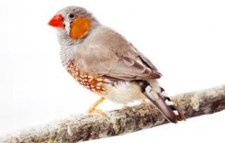 El genoma del pájaro cantor ayuda a entender los mecanismos moleculares del habla de los humanos. L.BRIAN STAUFFER (U.OF ILLINOIS)