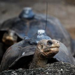 Tortugas gigantes vuelven a la isla Pinta en Galápagos