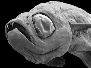 La nueva especie Danionella dracula. Efe