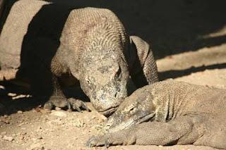 Dos dragones de Komodo. Efe