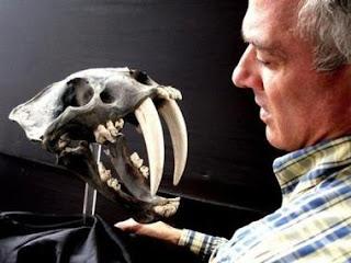 El paleontólogo alemán Klaus Hönninge, con el cráneo de Smilodon. AFP