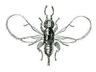 La 'avispa del higo' no ha evolucionado en 34 millones de años
