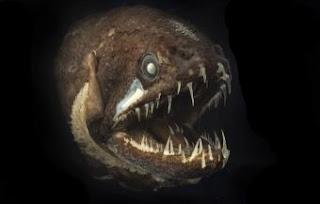 El pez dragón, de la fauna abisal australiana, es de pequeño tamaño y tiene dientes en la lengua.- JULIAN FINN/MUSEUM VICTORIA