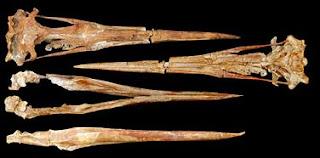 Fósiles de la calavera del pingüino gigante. Science