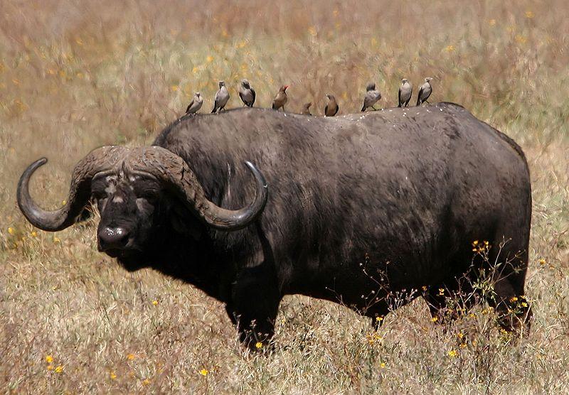 Animal Free Wallpapers: Animal African Buffalo Free Wallpapers