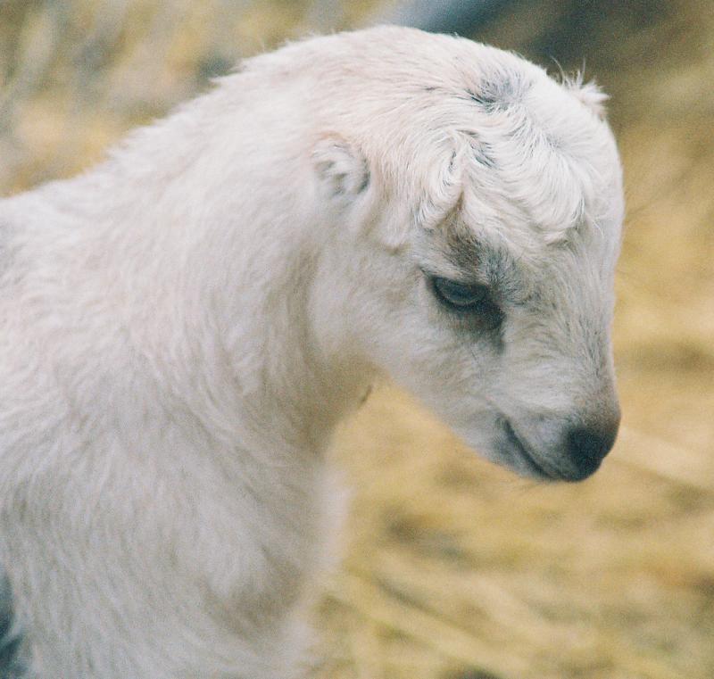 lamancha nubian goats - photo #26