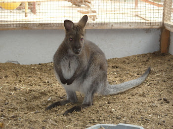 CANGURO  WALLABY