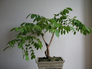 Bonsai amateur glicinia de acodo prebonsai - Glicinia en maceta ...