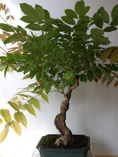 Bonsai amateur evolucion de acodo a prebonsai de glicinia - Glicinia en maceta ...